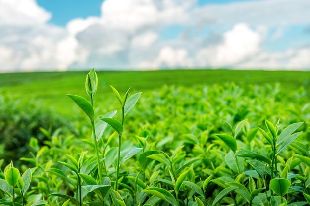 High quality tea leaves